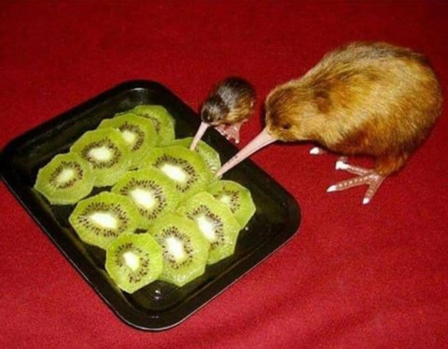 kiwi-animals-eating-kiwi-fruits-unbelievable-photos