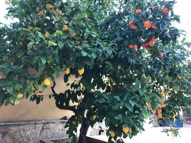 lemon-tree-with-orange-fruits