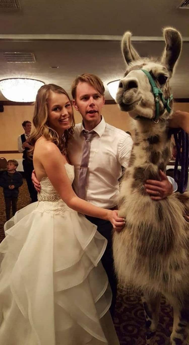 llama-attends-wedding-remarkable-photos