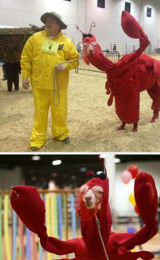 llama-dressed-up-as-a-lobster-heartwarming-photos