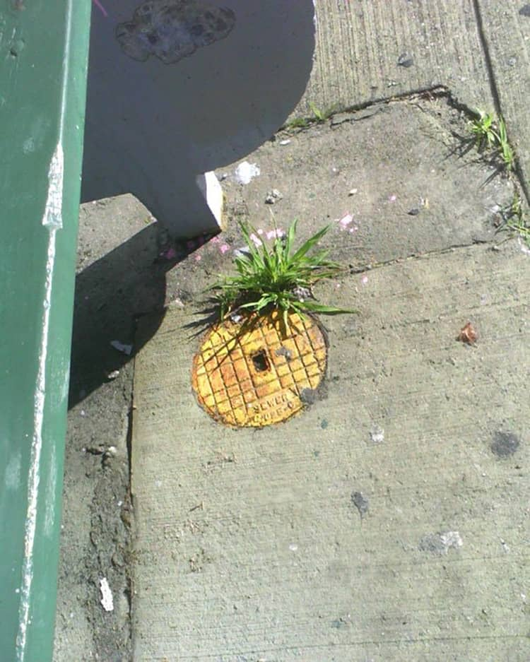 manhole-cover-pineapple-humans-weirdest-creatures