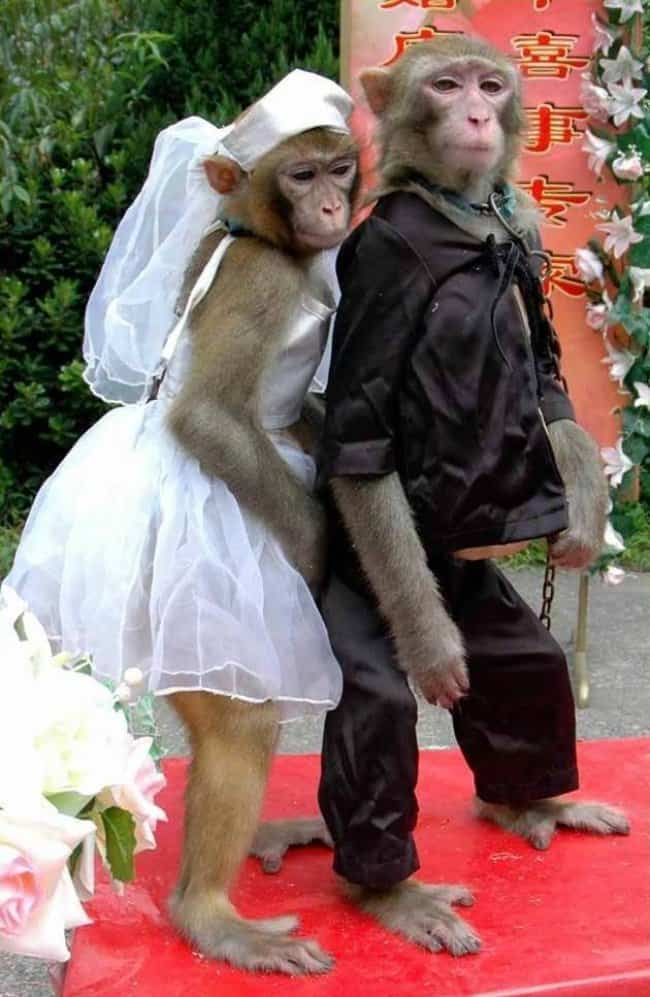 monkeys-dressed-in-wedding-clothes