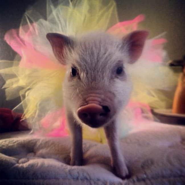 pig-in-a-tutu