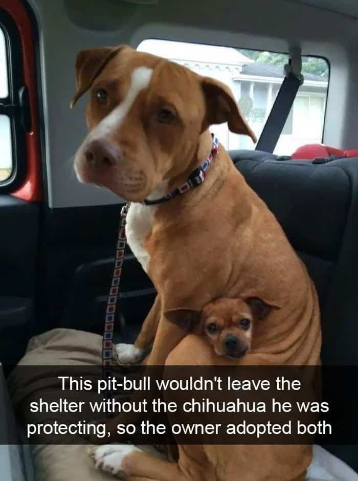 pittbull-is-a-chihuahua-protector-adorable-dog-snapchats