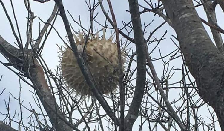 puffer-fish-on-a-tree-unbelievable-real-photos