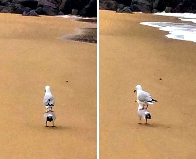 seagull-standingon-top-of-another-seagull-hilariously-mysterious-photos