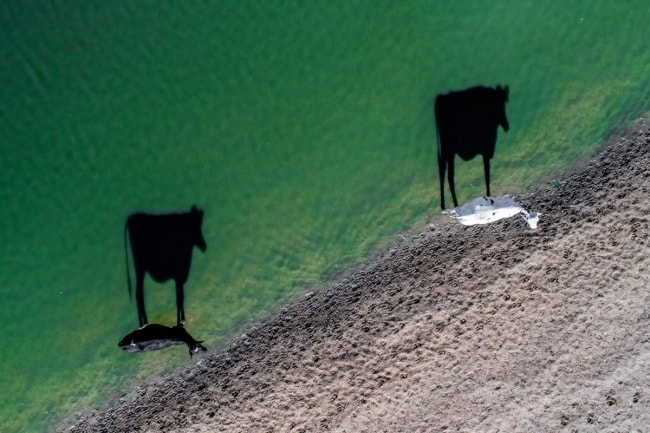 shadows-of-cows-at-the-beach