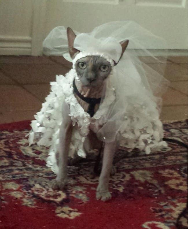 sphynx-cat-wearing-a-wedding-dress