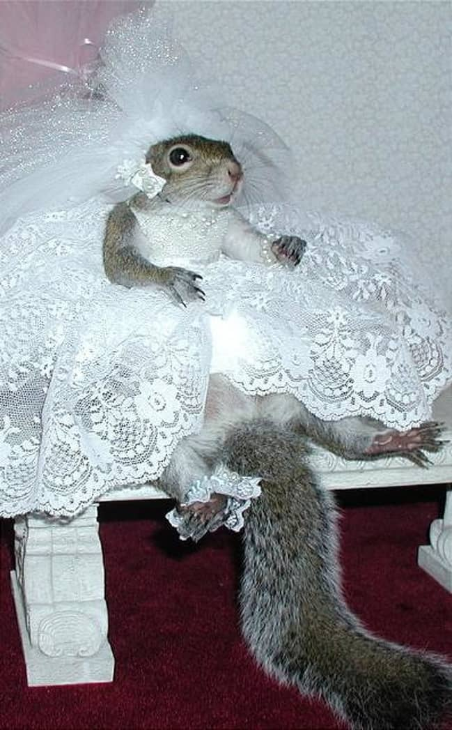 squirrel-in-a-wedding-gown