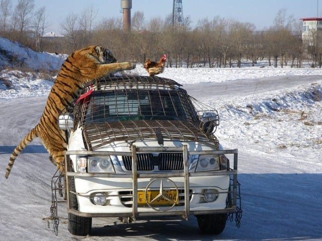tiger-reaching-for-a-chicken-on-top-of-car-photos-captured-before-disaster-struck