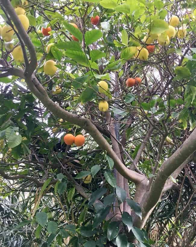 tree-bearing-lemon-and-orange-fruits-unbelievable-photos