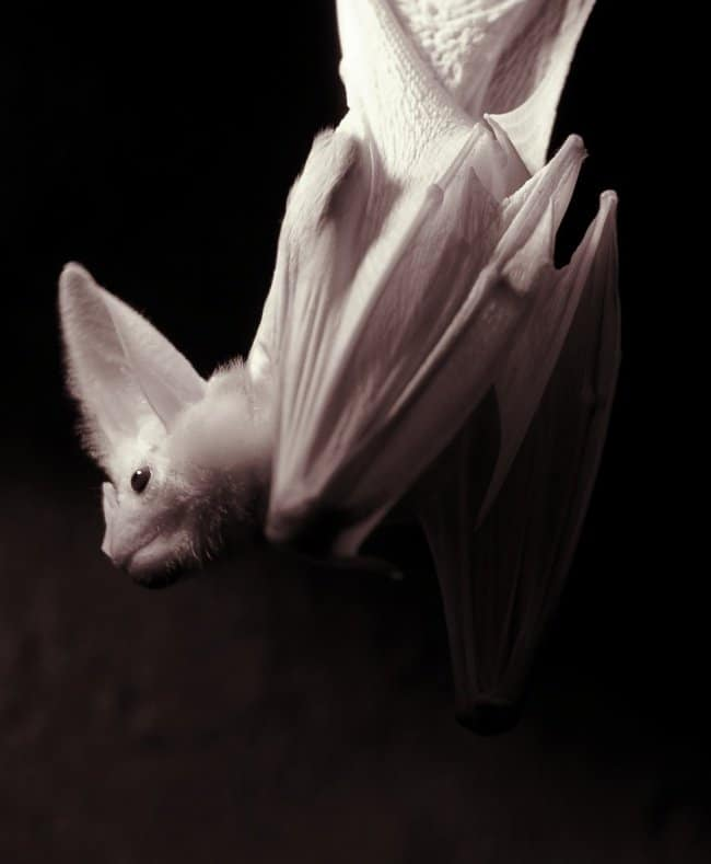 white-bat-real-things-that-actually-exist