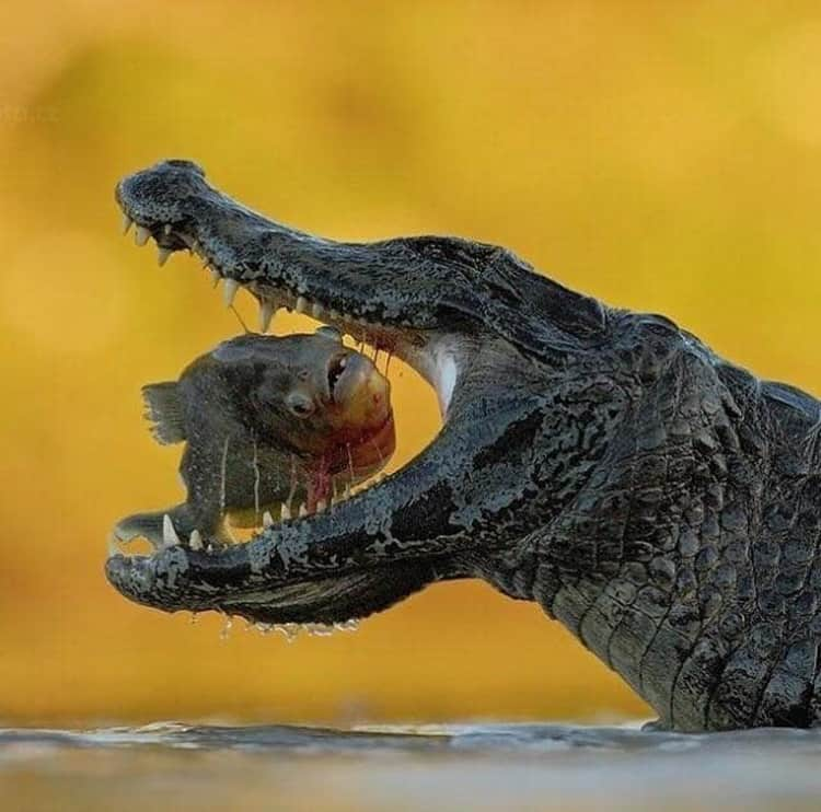 crocodile-about-to-eat-a-fish-impressive-photos