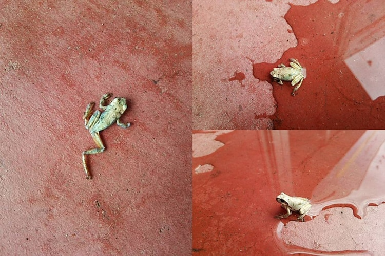 dried-out-frog-comes-alive-astonishing-photos