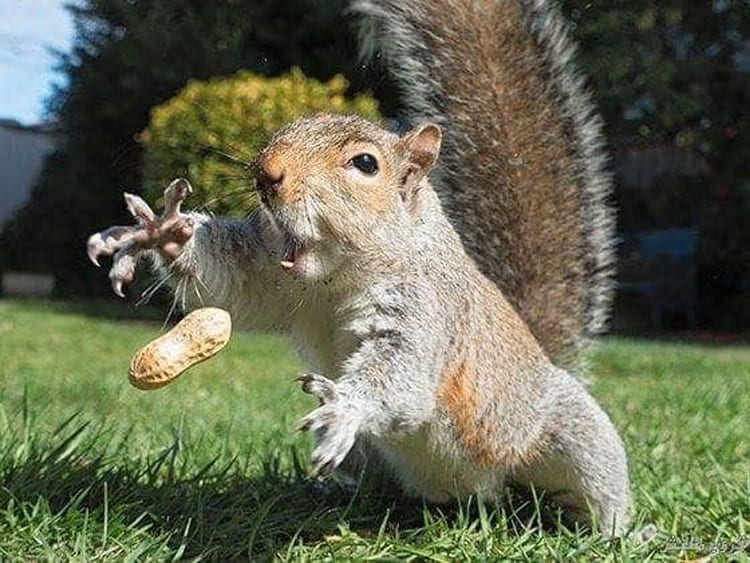 squirrel-catching-a-peanut-impressive-photos
