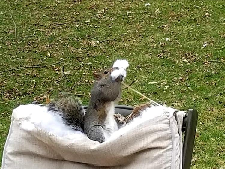 squirrel-eating-cushion-cotton-hilariously-bad-situations