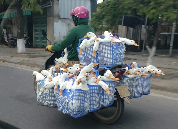 transporting-ducks-on-a-motorbike-hilariously-weird-things