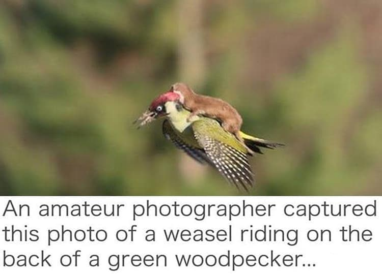 weasel-riding-a-flying-bird-coolest-things