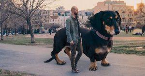 6-feet tall photoshopped dachshund dog