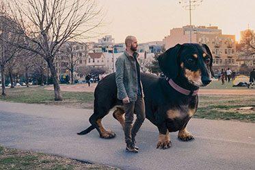 6-ft tall dachshund dog