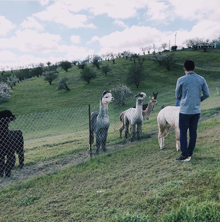 alpaca ranch experience