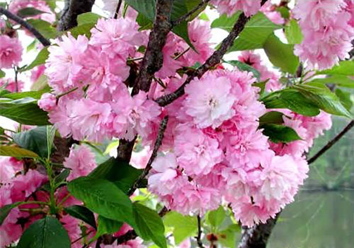 Cheap Cherry Blossom Trees Are For Sale and They Look ...