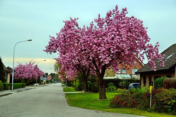 Cheap Cherry Blossom Trees Are For Sale And They Look Beautiful