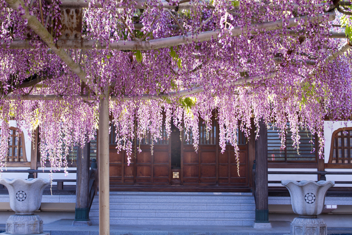 wisteria festival japan
