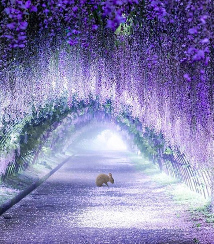 wisteria tunnel by puraten10