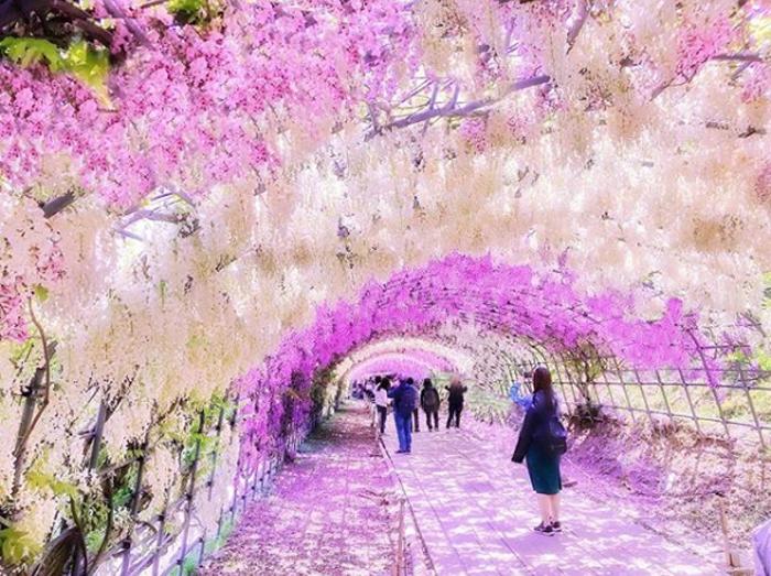 wisteria tunnel by mayumi_nanba26