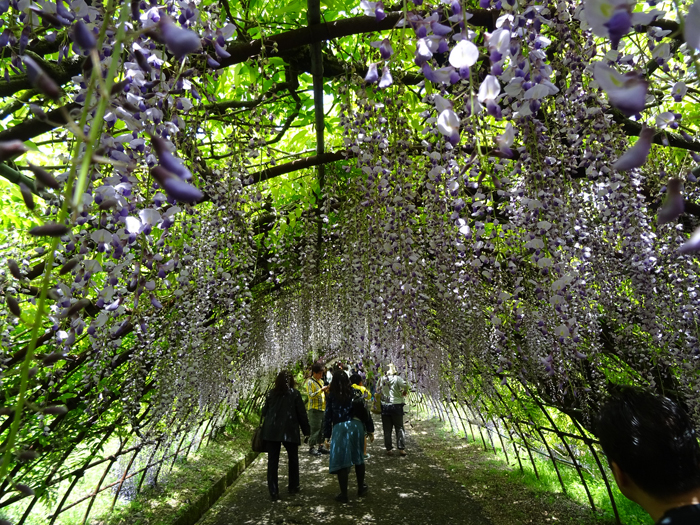 wisteria tunnel purple flowers