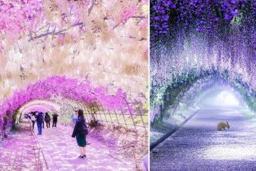 Wisteria Tunnels japan
