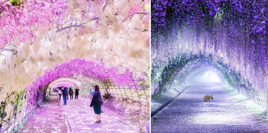 Wisteria Tree Tunnels In Japan Look Like Something From A Fairy Tale