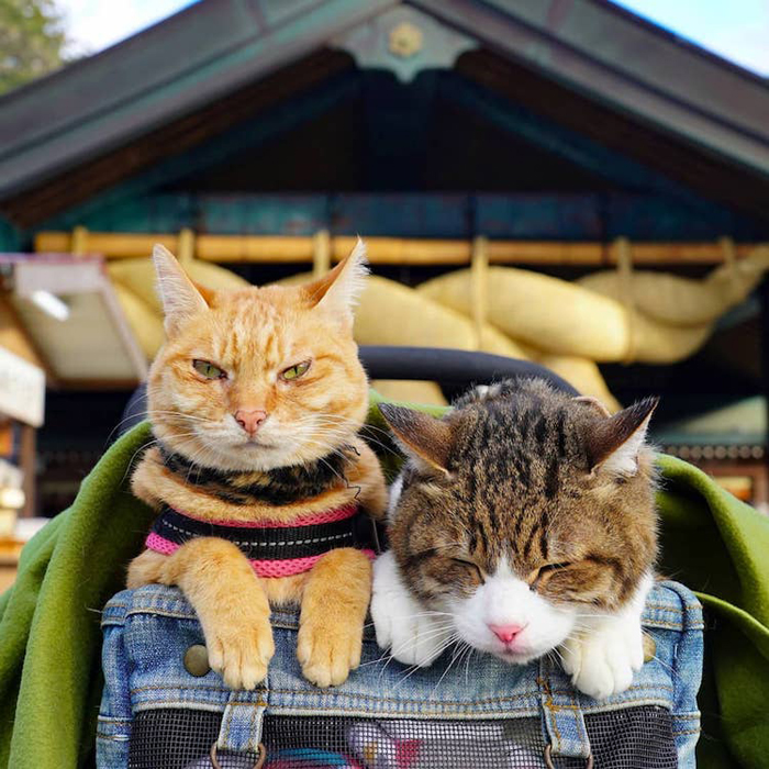 daikichi and fuku-chan traveling cats