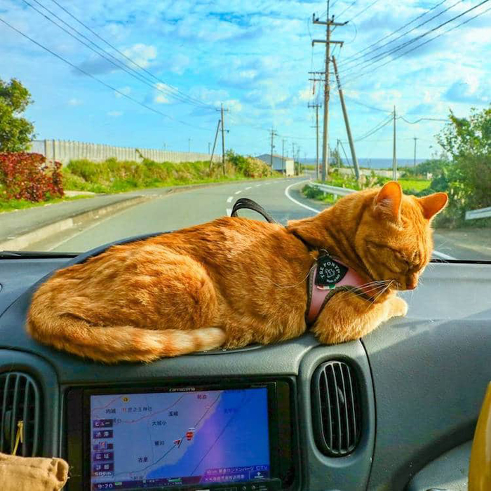 fuku-chan cat car trip