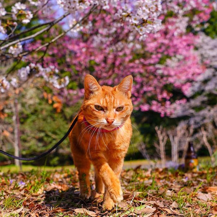fuku-chan cherry blossom trees