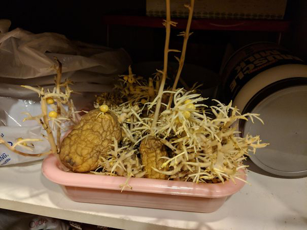 monster roommate sprouting potatos