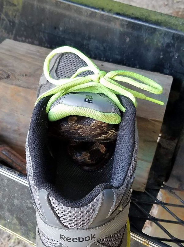 snake inside the shoe