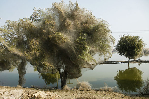 spider cocooned trees