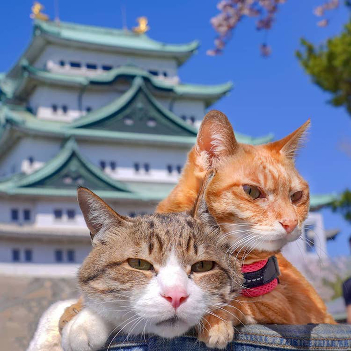 traveling cats japan adventures