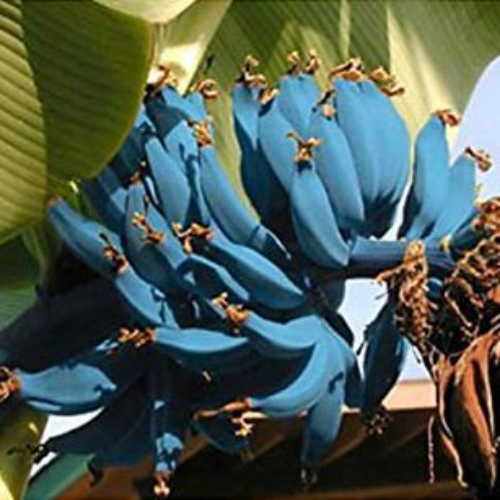 amazon blue java bananas ice cream banana tree