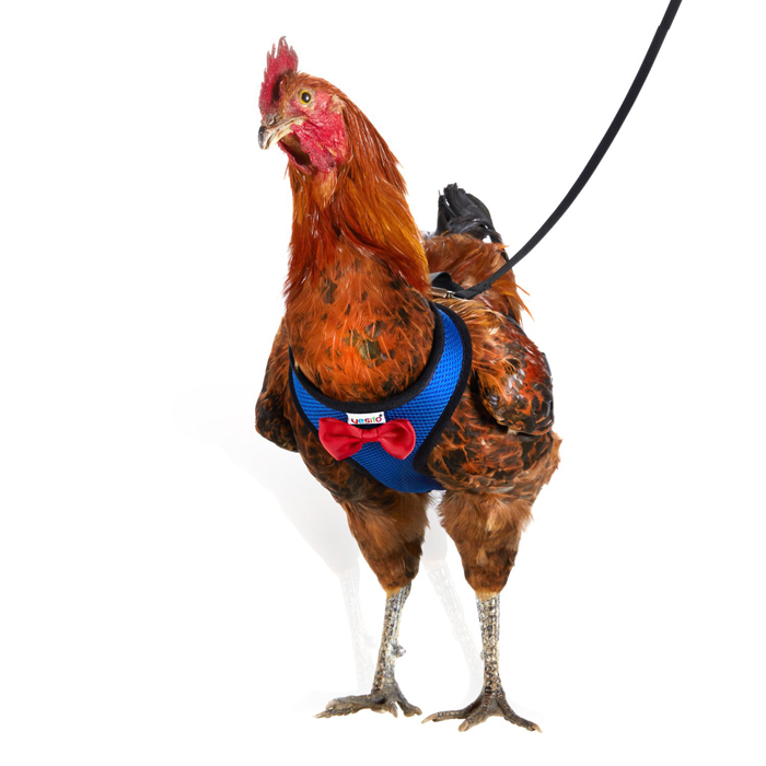 amazon chicken harness blue