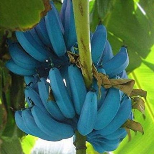 blue java bananas ice cream banana tree