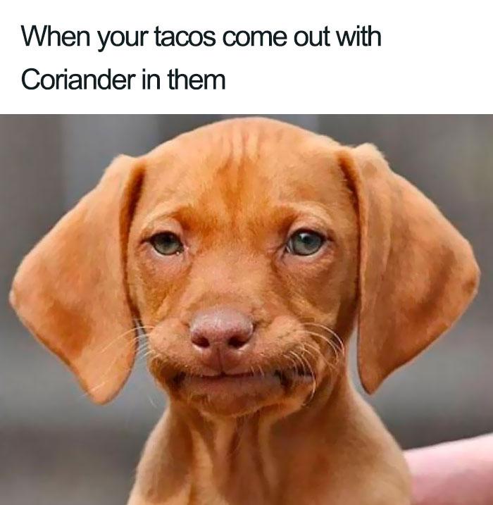 coriander haters funny memes taco dog
