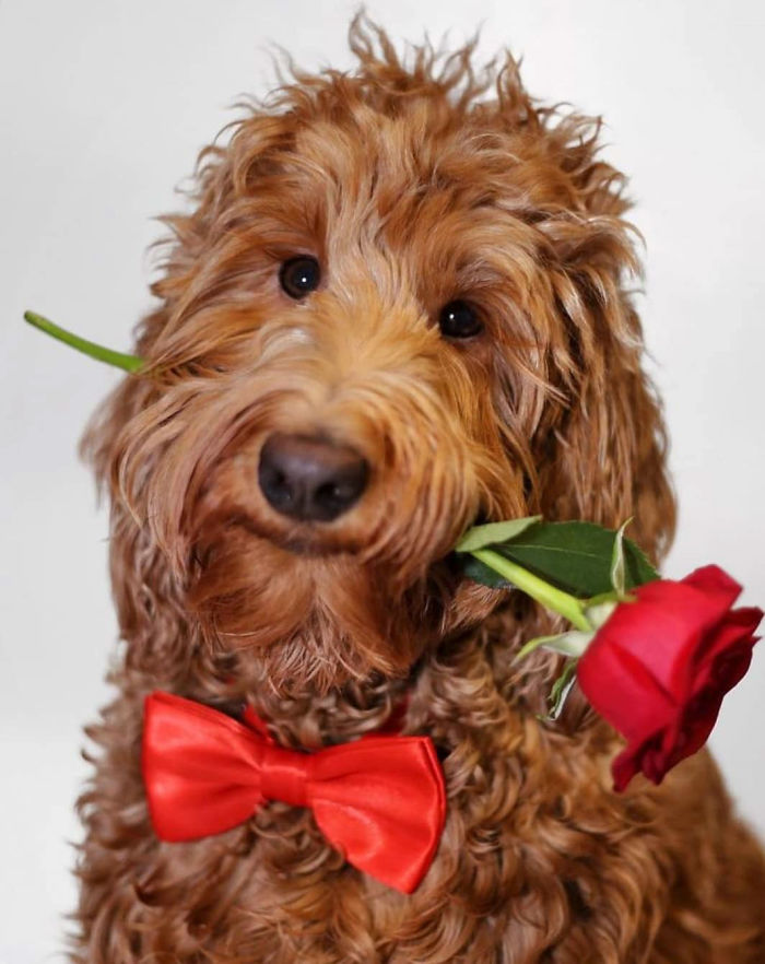 dog with red bow tie