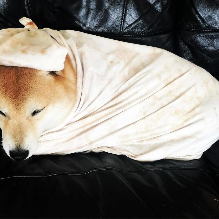dog wrapped in burrito tortilla baby blanket
