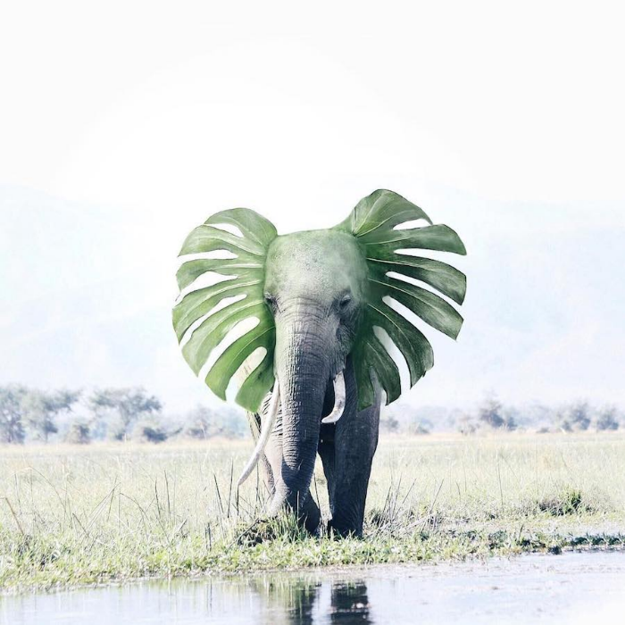 elephant with leaf ears surrealism photography luisa azevedo