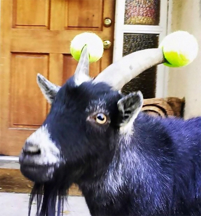 funny goats with pool noodles on their horns