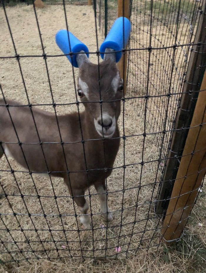 goat with pool noodles on their horns