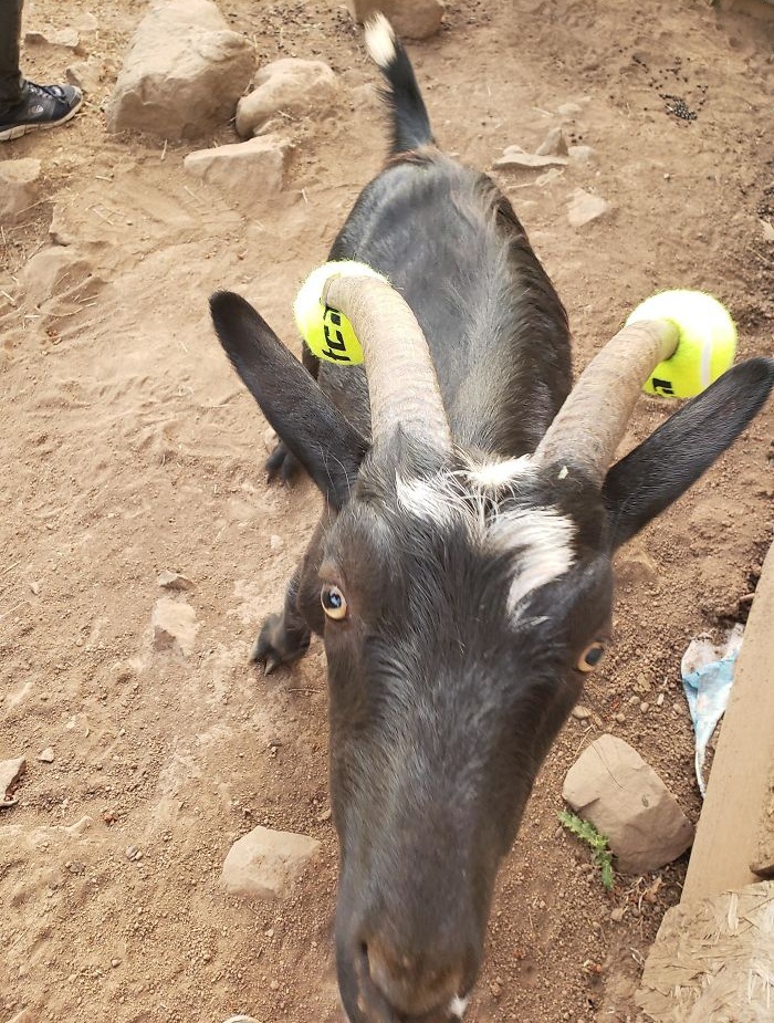 goats with pool noodles on their horns ball version